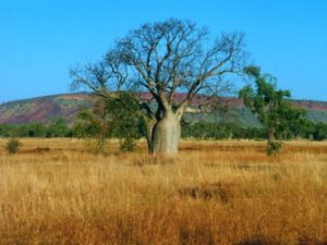 Boab Tree in the Kimberely